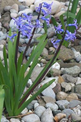 Hyazinthe-blau