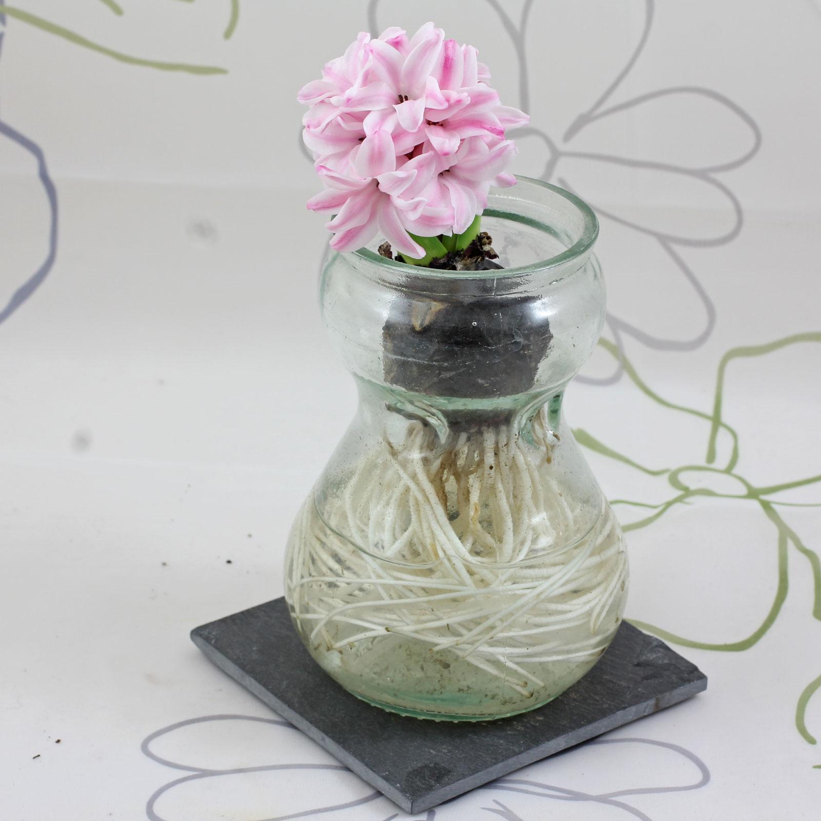 hyazinthe im glas hyazinthen im glas ziehen pflanzen und pflege nach der bl te hyanzinthe im. Black Bedroom Furniture Sets. Home Design Ideas
