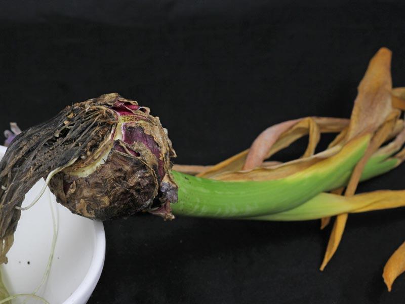 Hyazinthe vertrocknet