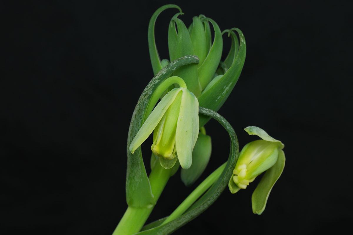 Albuca Blüten